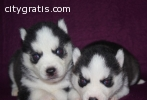 Adorable husky pup for re-homing