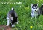 AKc Siberian Husky Puppies Male and Fema