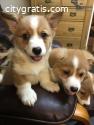 Beautiful and Active Corgi Puppies