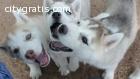 Blue Siberian Husky puppies  on Adoption