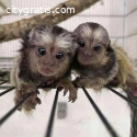 Finger Marmoset Monkeys available now .