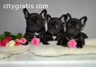 French Bulldog Puppies For Sale!
