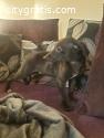 Kc Reg Whippet Pups