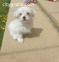 Lovely Maltese Puppies For Sale.