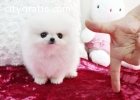 Male and female Pomeranian Puppies ava