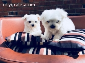 Nice and Healthy Maltese Puppies Availab