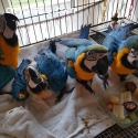 parrots and fertile eggs for  sale