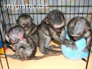 affectionate Monkeys and Chimps for sale