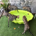 Well Trained Bengal kittens