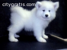 Adorable Samoyed puppies ready for adopt