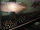Available Arowana,Stingray Fish