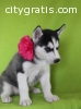 AWESOME MALE AND FEMALE SIBERIAN HUSKY P