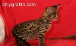 cute exotic savannahs, serval and bengal