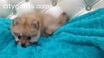 Cute Pomeranian puppy boy