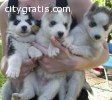 Healthy Cute Siberian Husky Puppies Read