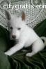lovely siberian husky puppy for free ado