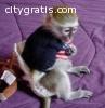 Male and female capuchin and marmoset mo
