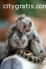 Male and female capuchin and marmoset mo