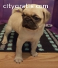 Male and Female Pug Puppies Available