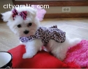 Maltese puppies now available