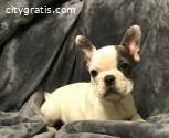 perfect French Bulldog Kc Puppies Ready