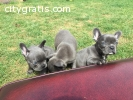 Purebred French Bulldog Puppies.. READY