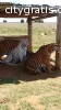 Tamed Tiger Cubs and Cheetahs Available