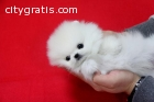 100% Gorgeous T-cup Pomeranian Puppy Fo
