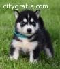11 Weeks Old Siberian Husky Puppies Avai