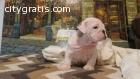 13 week old male English bulldog