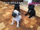 3 Adorable Pug Puppies