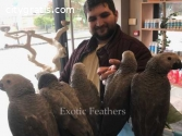 6 Hand Reared African Grey Parrots For S