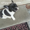 9 weeks old Blue pie puppy available