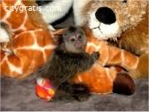 9, weeks old finger baby marmoset monkey