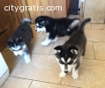 A calm looking siberian husky pups