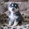 A charming siberian husky pups