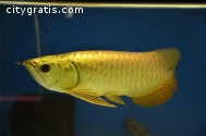 """""""A"""" Grade red Arowana fishes & Others"""