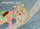 abagee pomeranian puppies