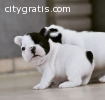 Active french bulldog puppies