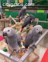 Adorable African Grey Parrots