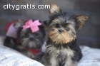 Adorable AKC Teacup and micro Doll Face