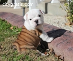 Adorable English Bull Puppies Now For