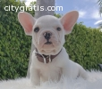 Adorable healthy and shining French Bull