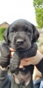 adorable labrador pup of 7 weeks old
