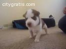 Adorable male and female bulldogs puppie