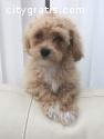 Adorable Maltese puppy Ready to go! Supe