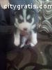 Adorable Siberian Husky puppies
