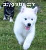 adorable siberian husky pups available