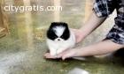 Adorable teacup Pomerania for adoption