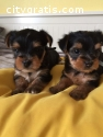 Adorable Yorkie puppies!